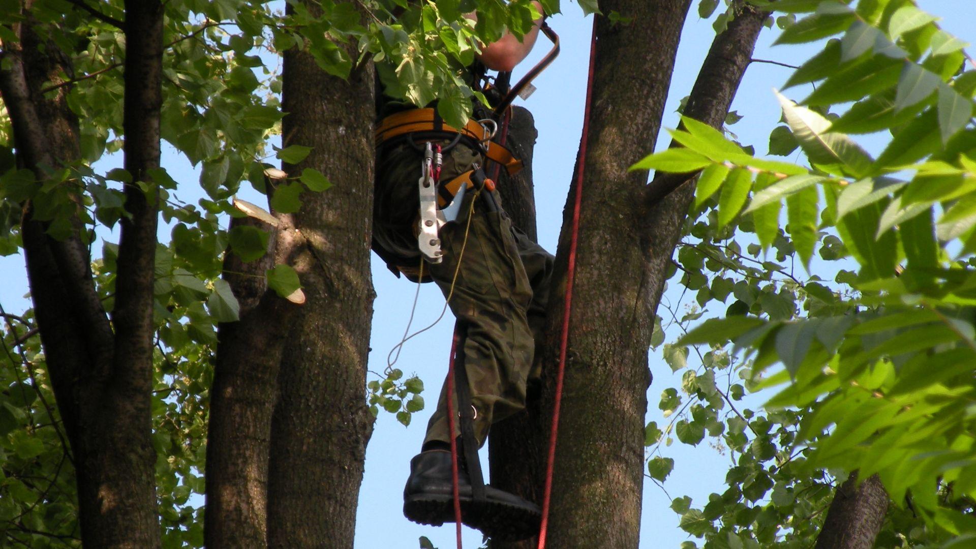 Chodzenie po drzewach bez użycia kolców