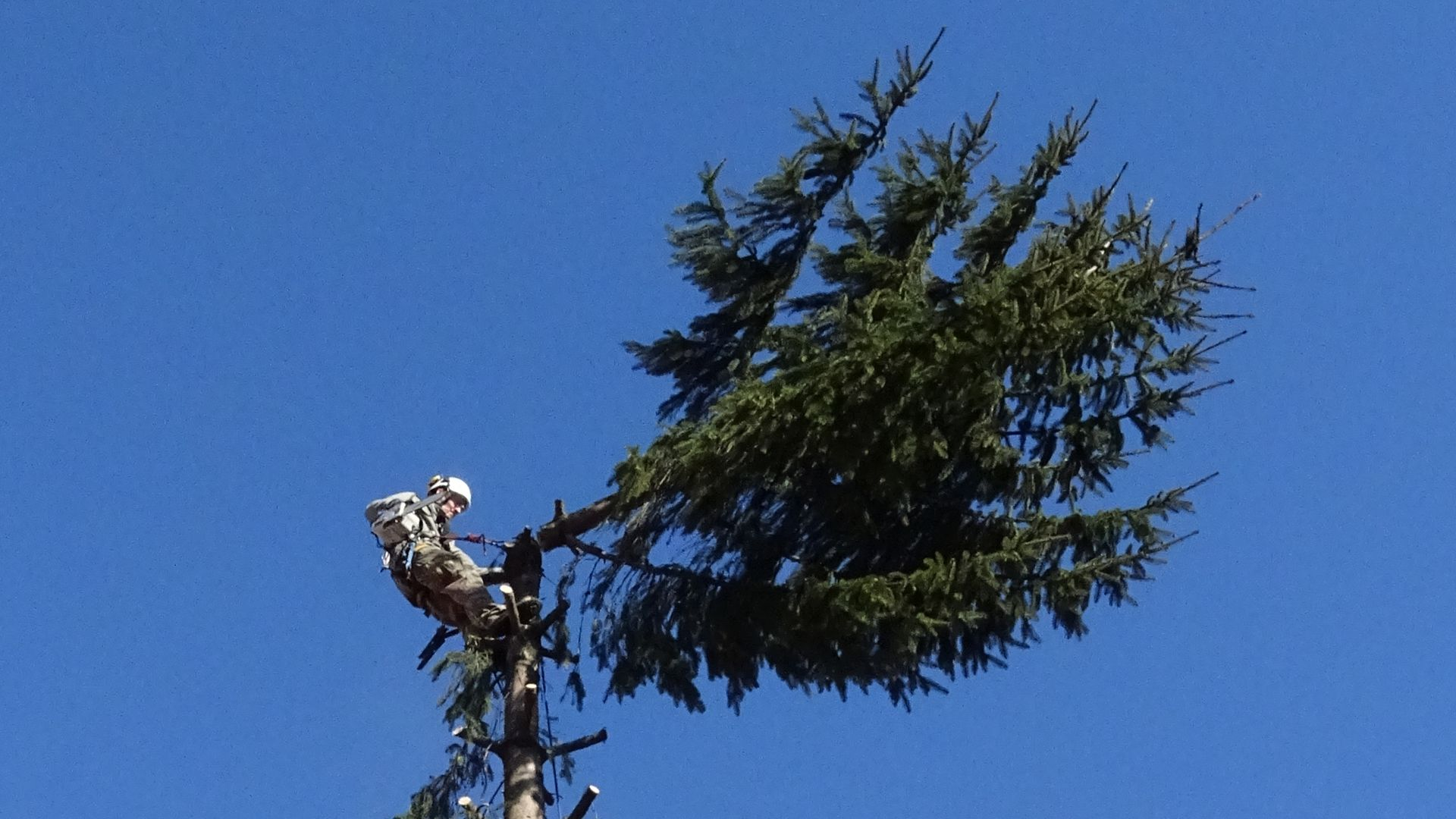 Arborystyczne ścinanie drzew