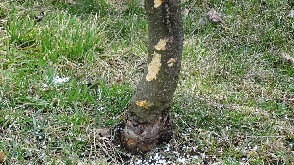 uszkodzone drzewa przez zwierzeta