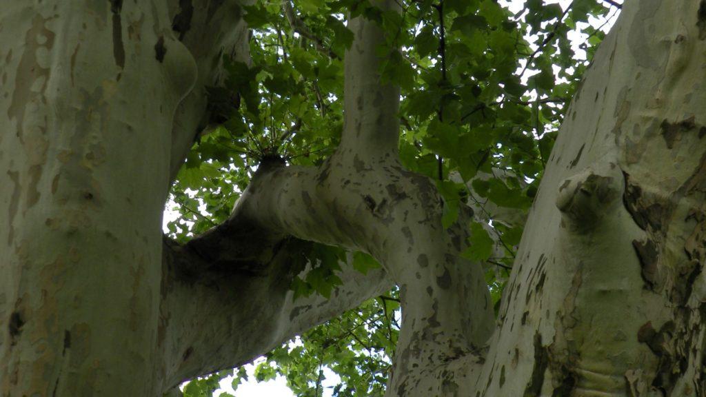 pielegnacja drzew bez kolcow