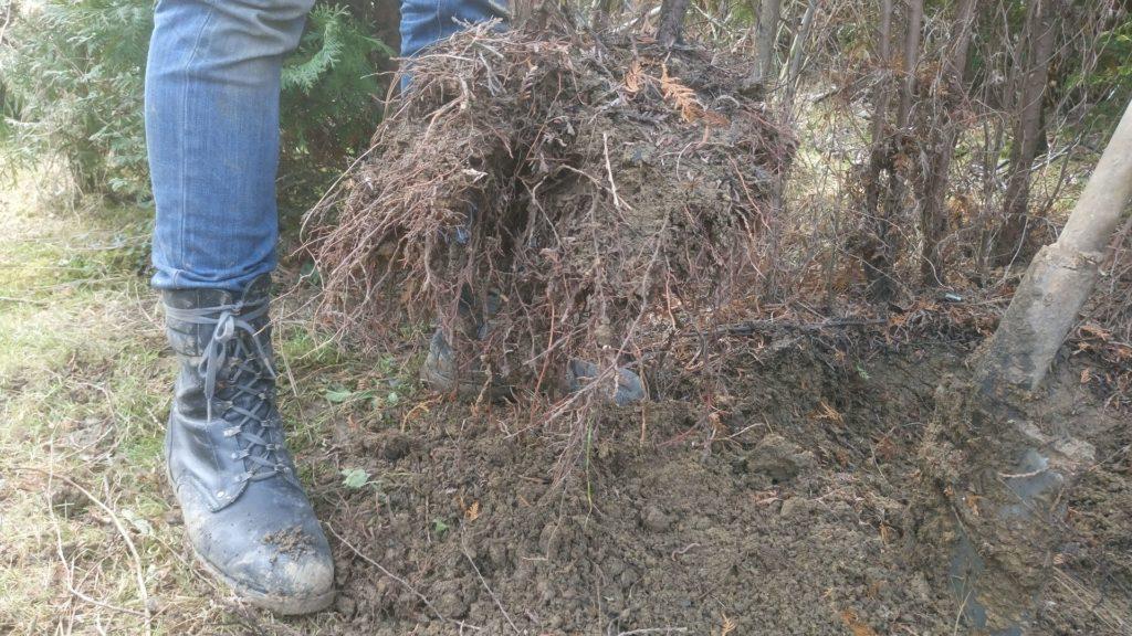 sadzenie przesadzanie drzew