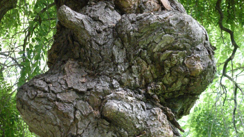 pielegnacja drzew starych