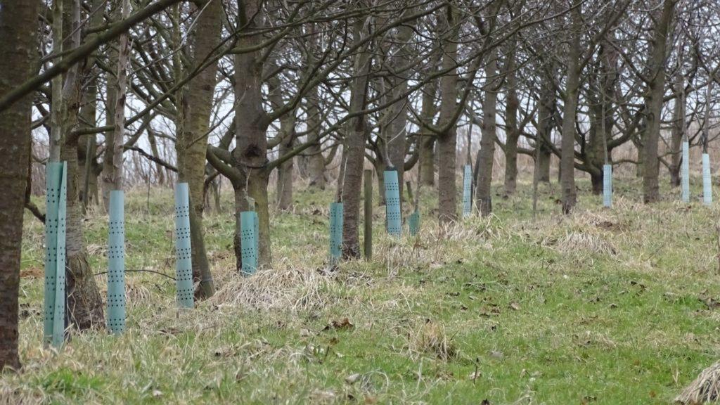 zabezpieczone drzewa owocowe