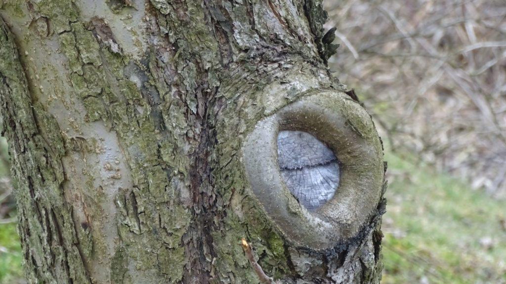 prawidłowo cięte drzewa owocowe