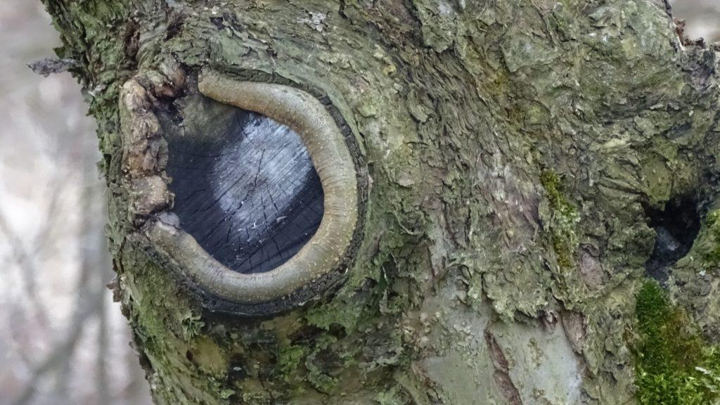 podkrzesywanie drzew