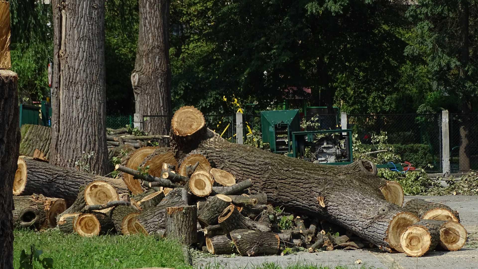 Wycinanie dużych trudnych drzew